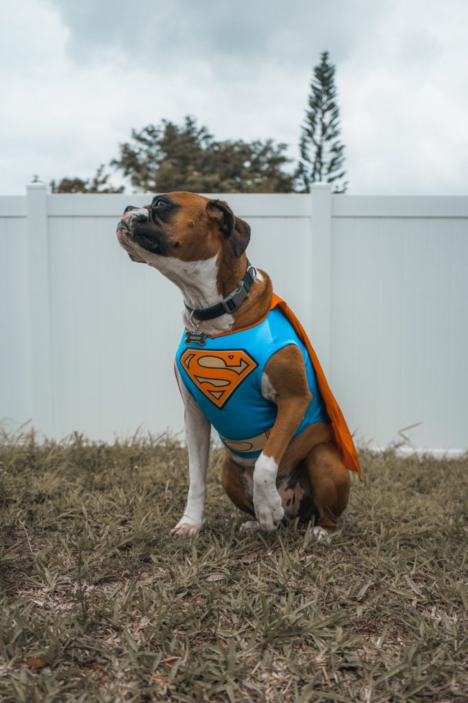 Superman-chien